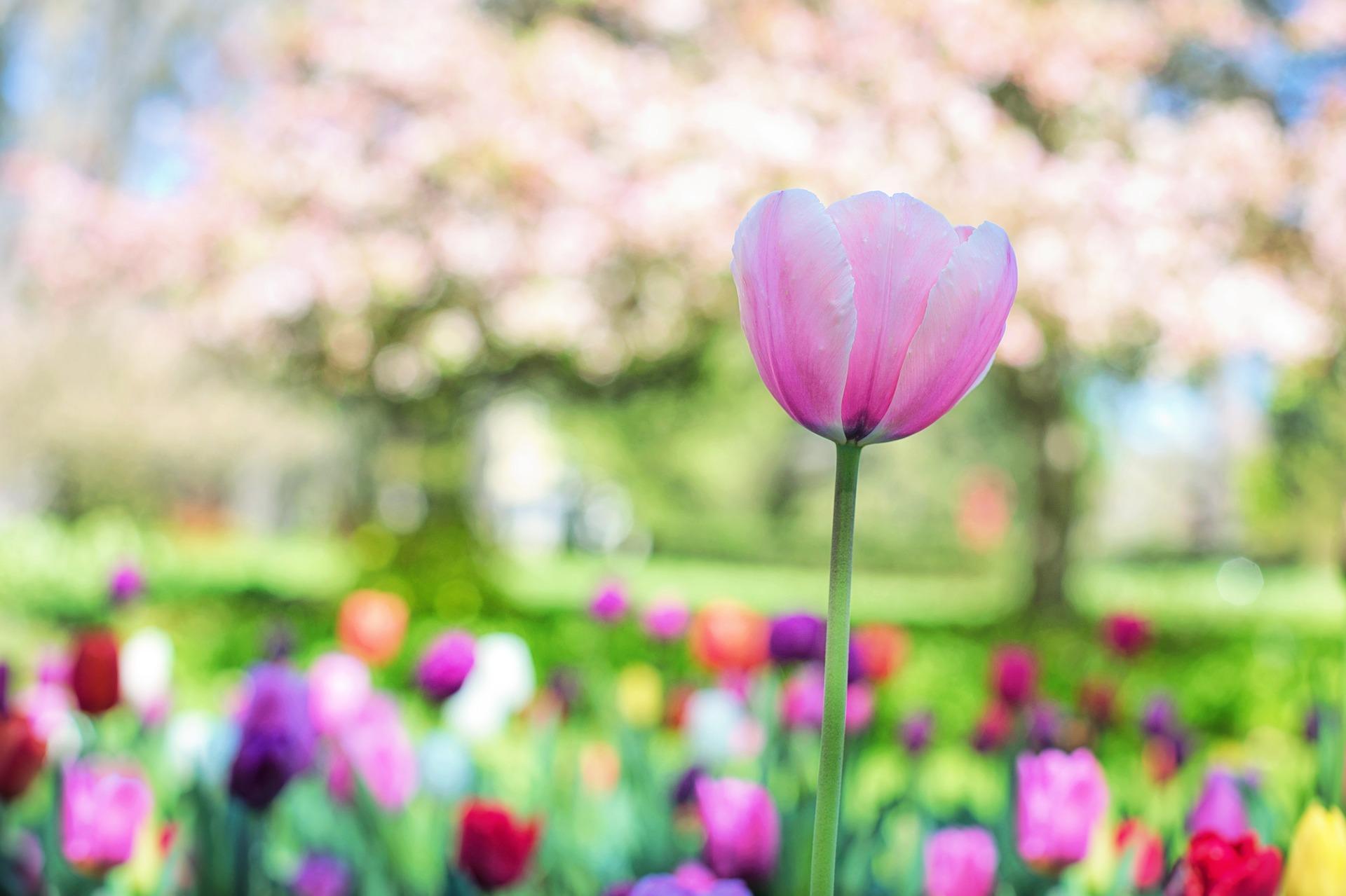 tulips-2289976_1920